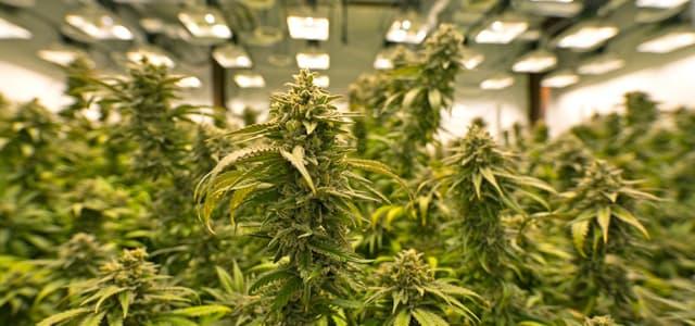 Marijuana, the drug that comes from hemp